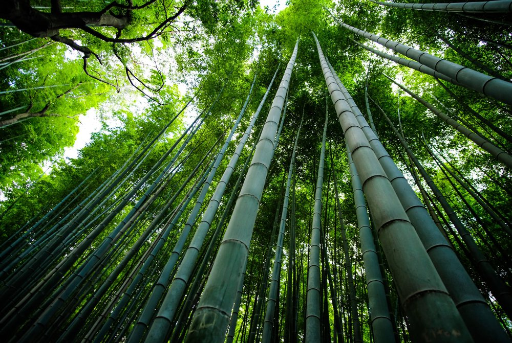 A lush bamboo forest