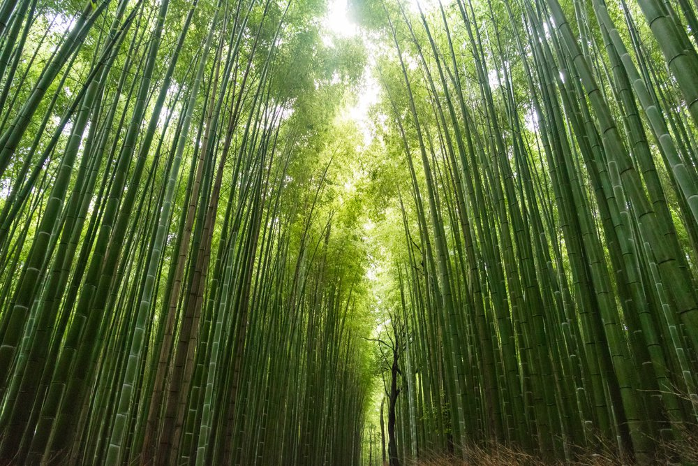 A large bamboo forest. The material from which bamboo toilet paper is made.