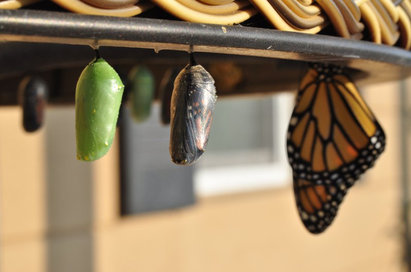 2010 was a boon year for these butterflies in my garden. I had a dozen chrysalis in all manner of morphs at any one time. In this image you can see the new green chrysalis coloration, one that's about ready to emerge (the clear one), and a butterfly that's already come out. They will hang for hours and dry their wings and are, in fact, quite fragile.