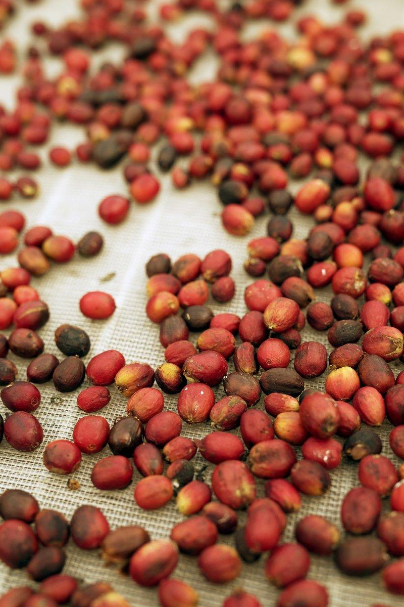 Gran Canaria : traditionnelle récolte de café dans la vallée Agaete