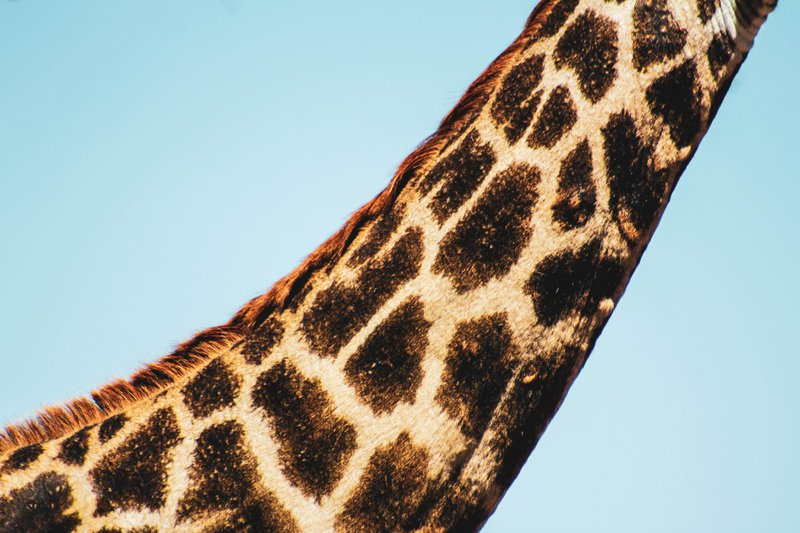 I took this photo on a recent trip to Zimbabwe. This was a quick shot I got of a young giraffes neck who happened to be at the one stop we were at for lunch. I thought it had a nice minimal feel to it because of the plain blue sky behind it, giving the giraffe the centre of attention. however not the full animal which is nice in a weirdly satisfying way.well I hope you like it.