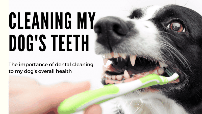 a border collie having its teeth brushed. Caring for your dog's teeth is essential