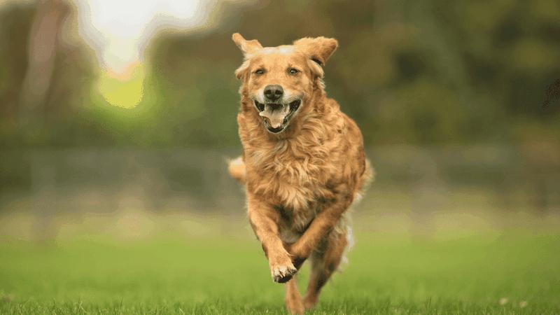 a running Golden Retriever