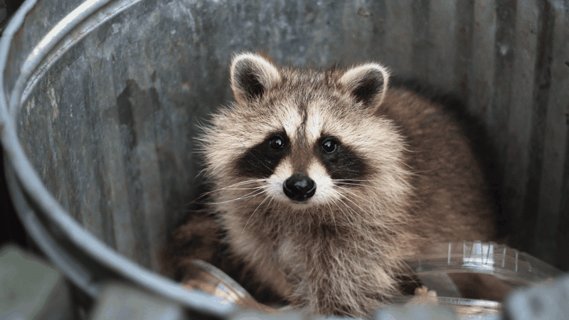 Wildlife like this cute raccoon can be attracted by garbage cans and bring ticks and fleas into your yard