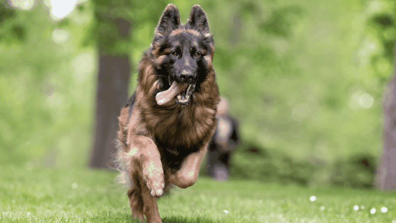 a running German Shepherd. Large breeds are often given joint supplements as they are more prone to arthritis and dysplasia