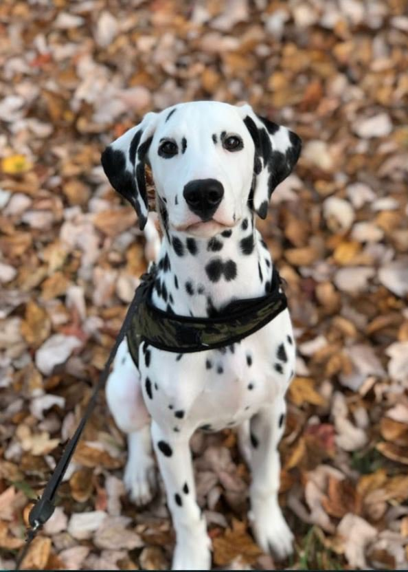 Dalmation Puppy photo (example of pet nutrition choices)