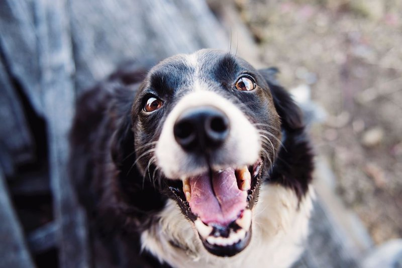 Black and white dog smiling.