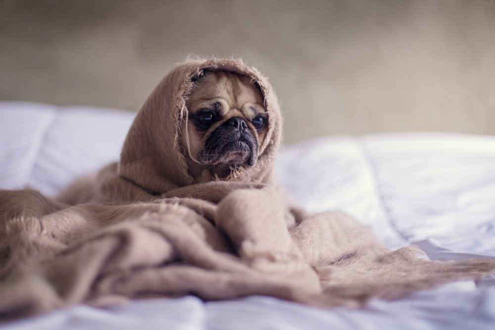 Pug in a blanket (not sick from COVID-19)