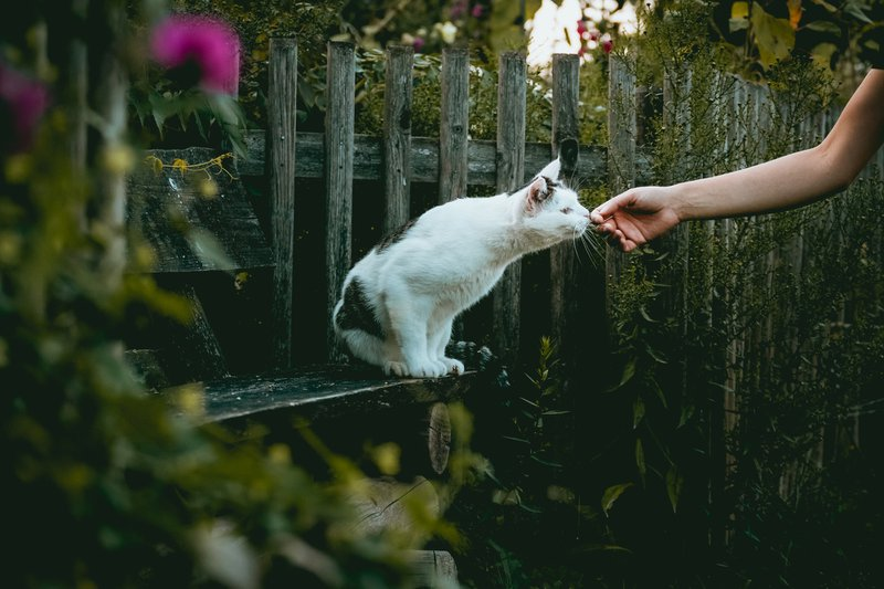 White and black cat sniffing an outstretched hand