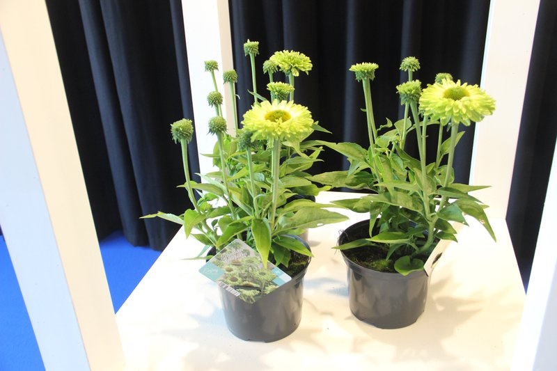 Wint brons op de Florral Award: DS Plant met SunSeekers Apple green