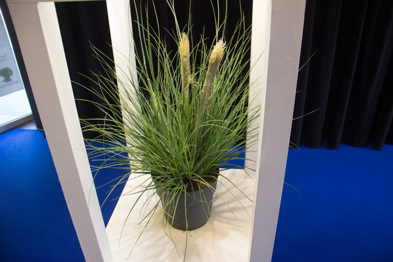 Wint zilver op de Florall award: Planten Stevens vof met Tiny Pampa
