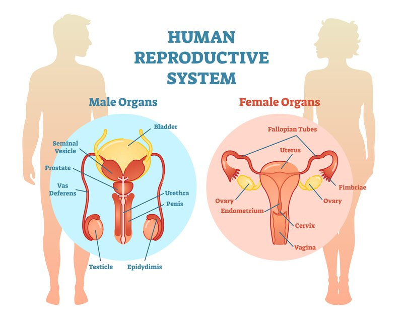 Human Reproductive System Illustration Diagram, Male and Female. Medicine educational information.