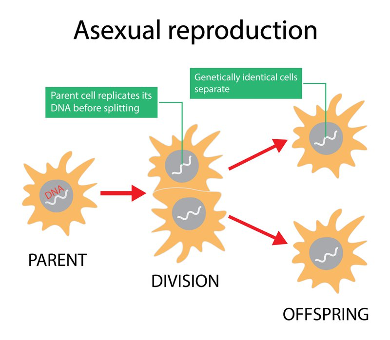 illustration of biology, All organisms copy their DNA when cells divide, replication of the entire organism's body is also a simple matter of copying, Asexual reproduction diagram