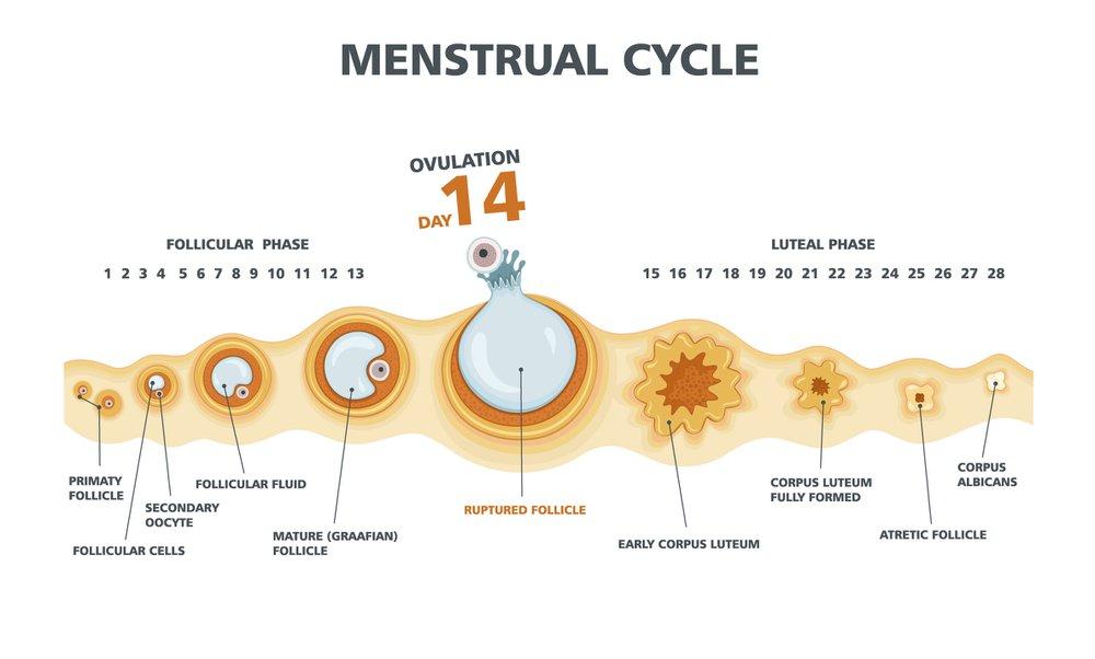 Diagram indicating the menstrual cycle