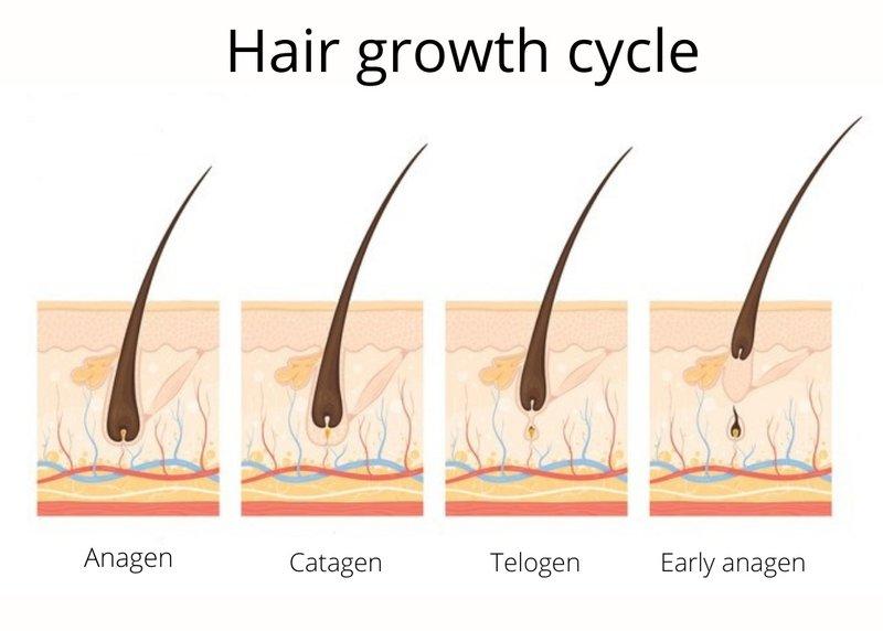 Hair growth cycle - anagen, catagen, telogen