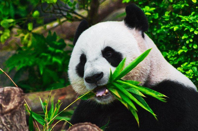 The Hungry Panda