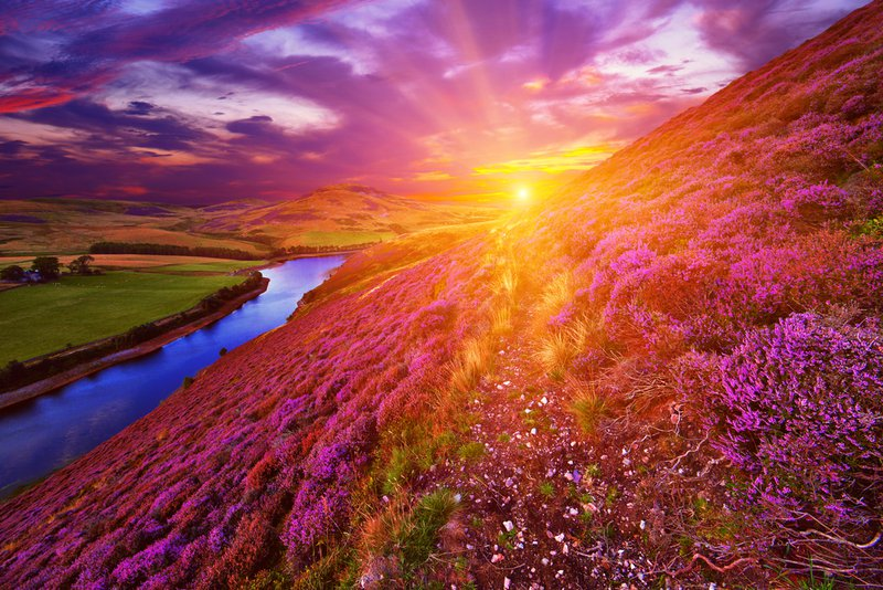 Scottish mountain with heather in bloom