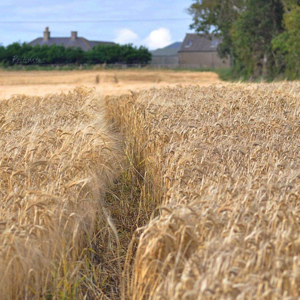 A field of ripening Scottish barley