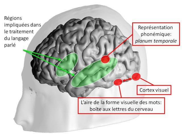 Zone cérébrale de la lecture