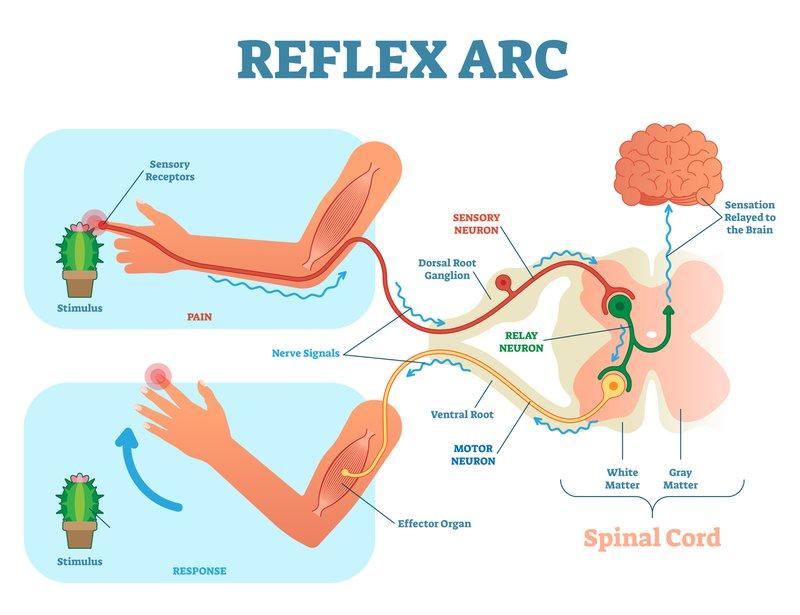 pain reflex arc