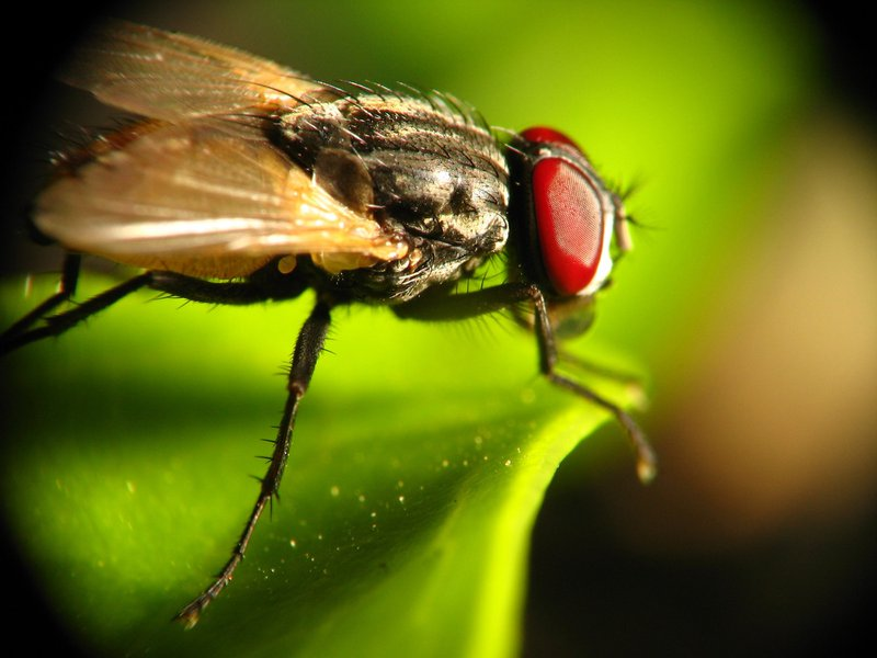A common housefly up close and personal :) Reverse lens macro + slave flash