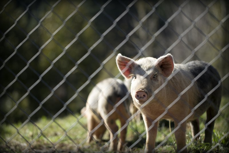 Routined cleaning of pig farms is a must - Nipah virus