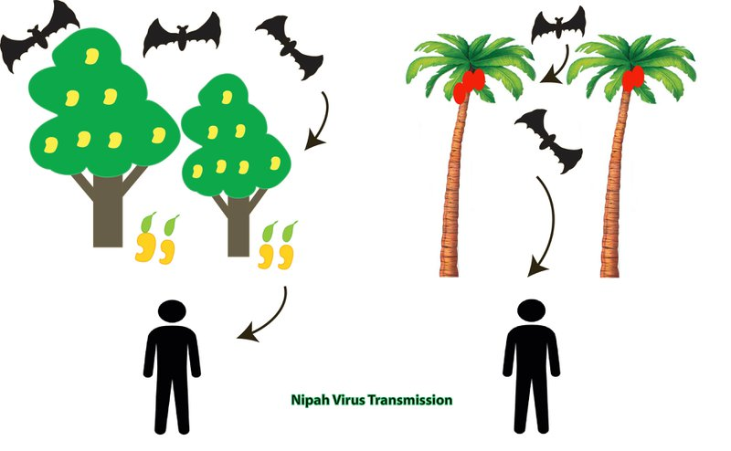 Nipah virus spread illustration   Source: Sci Club