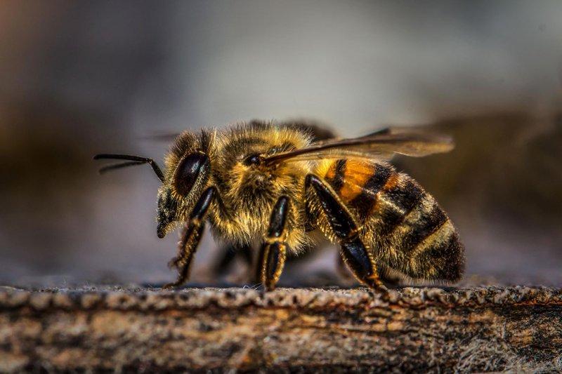 Honey Bee Vs. Killer Bee