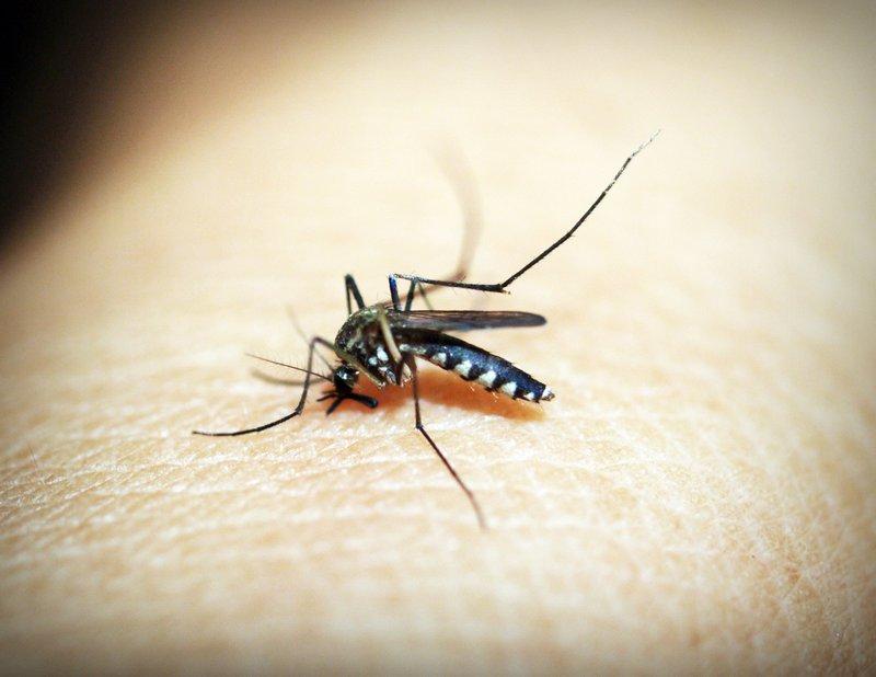 Mosquito Size