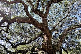 Austin Silicon Hills Live Oak