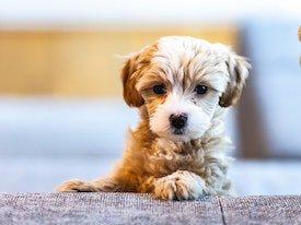 Puppy Pet Insurance