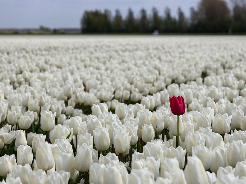 A red flower in a field of white flowers.