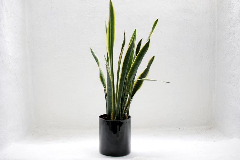 snake plant in black pot