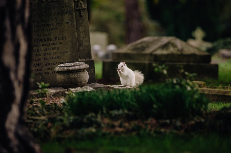 Have you ever seen an albino squirrel? I hadn't until finding out recently that there's a family of them living in a cemetery near me! Albinism in grey squirrels is so rare that apparently the chances of spotting one are just one in 100,000, with around only 50 of them living in the UK. I was lucky that this one stopped a few times and allowed me to get a handful of good photos