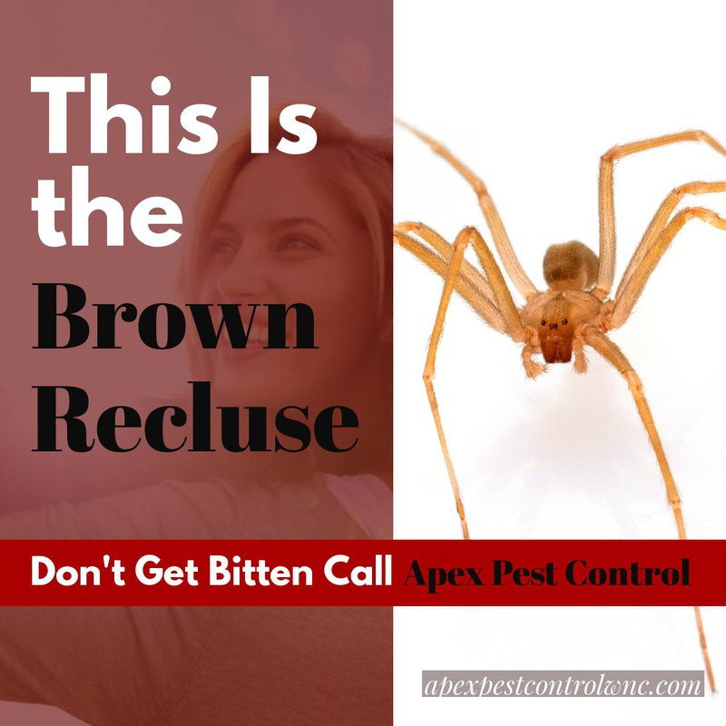 how to get rid of the brown recluse spider