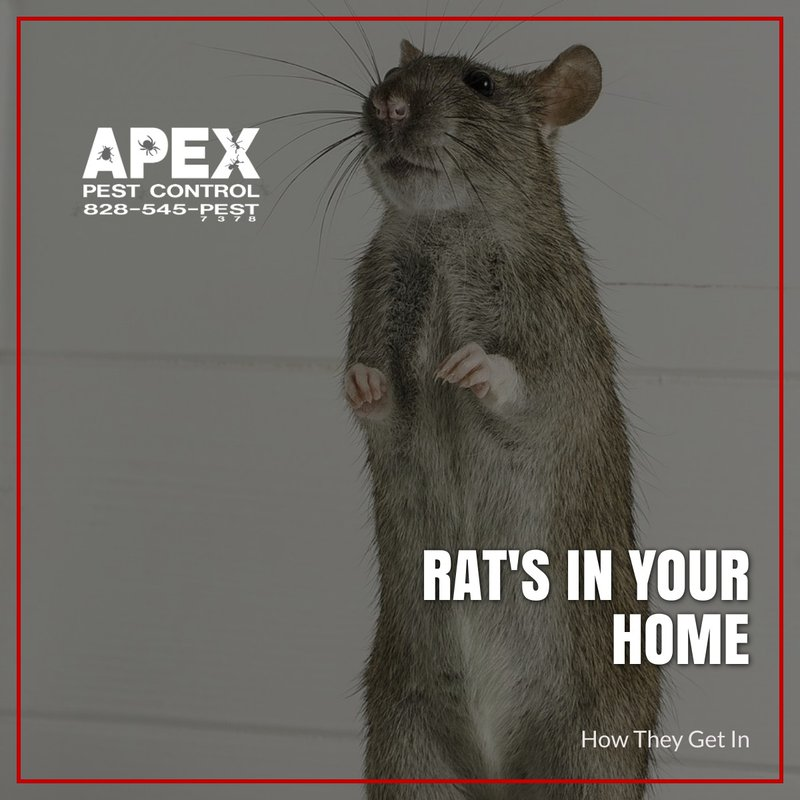 rats in your home