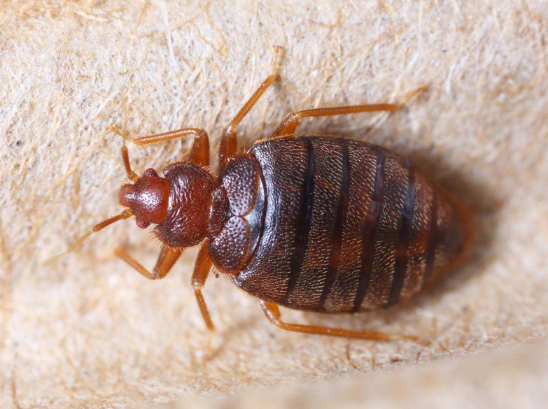 Bothered by Bed Bugs? Know the Best Treatment that Really Works 4