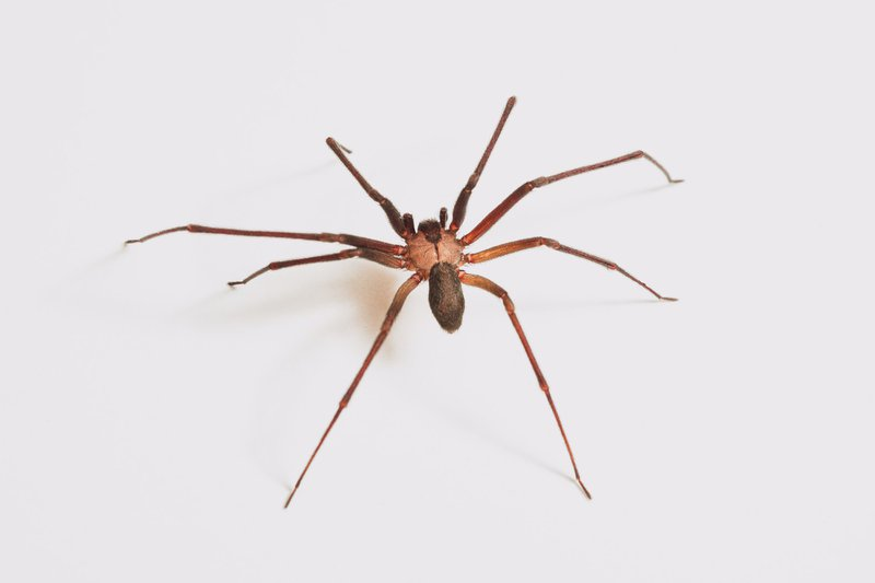 A brown recluse (Loxosceles reclusa). Many other spiders are often misidentified as a brown recluse and killed (I don't condone killing a brown recluse and this one was released after the photoshoot). For those that don't know, this is one of two spiders in the southeast United States whose venom is something to be concerned about  The venom of a brown recluse is a hemotoxin, which means it destroys red blood cells. In some cases, it can cause necrosis (rotting) flesh and systemic infections. They are normally docile - so it is something to be respected but not afraid of.