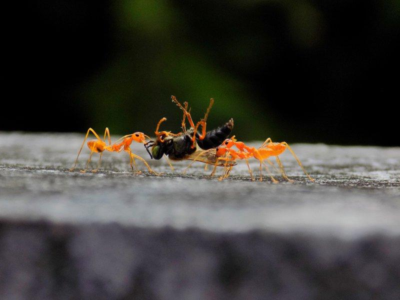 black and orange ants