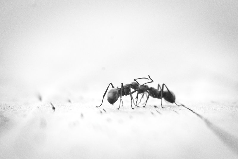 micro photography of two black ants on white panel