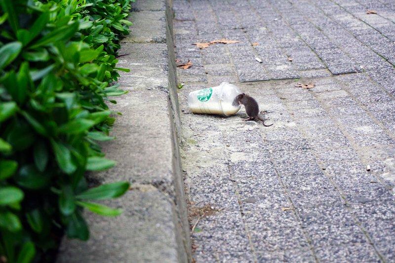 mice infestations