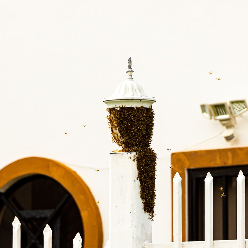 Bees swarmed on gate post. pest infestations
