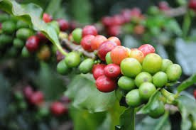 Caffeine comes from coffee plants