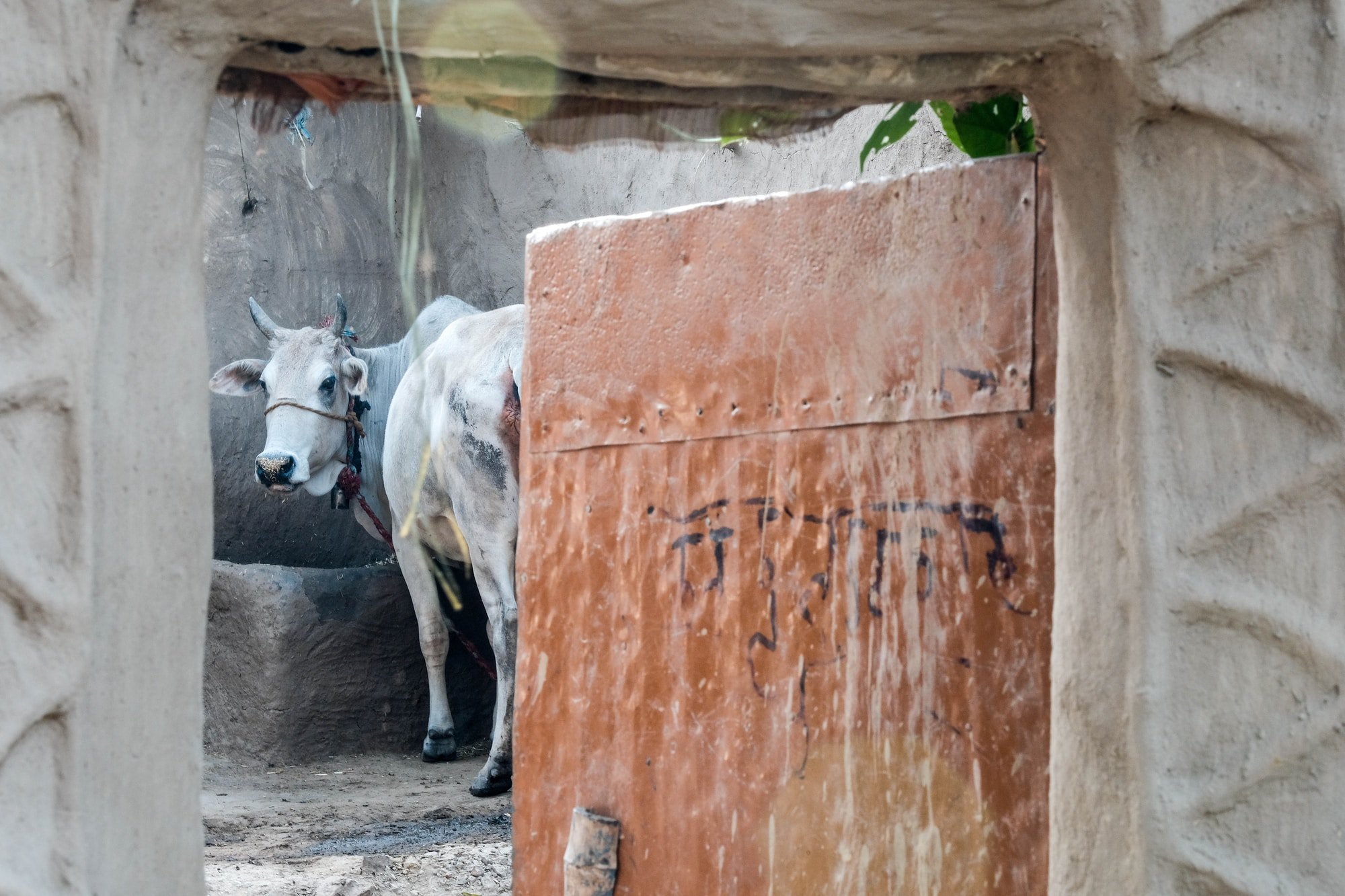 Cow inside a mud hut in remote village, Uttar Pradesh, India