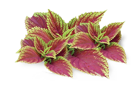 forskolina producto natural para bajar de peso