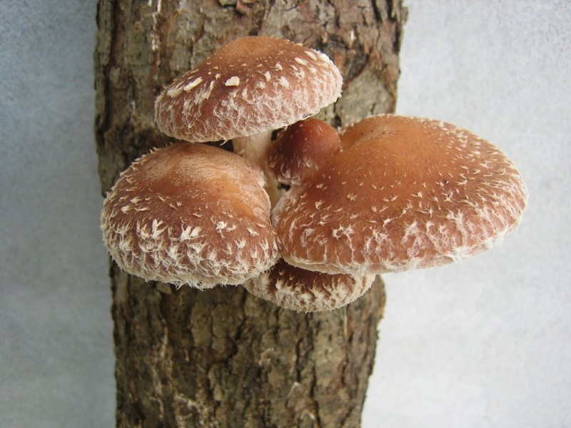 Shiitake mushrooms growing on a tree