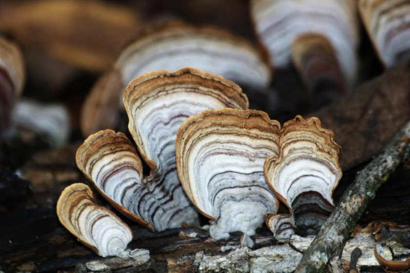 Turkey tail mushrooms growing on a log