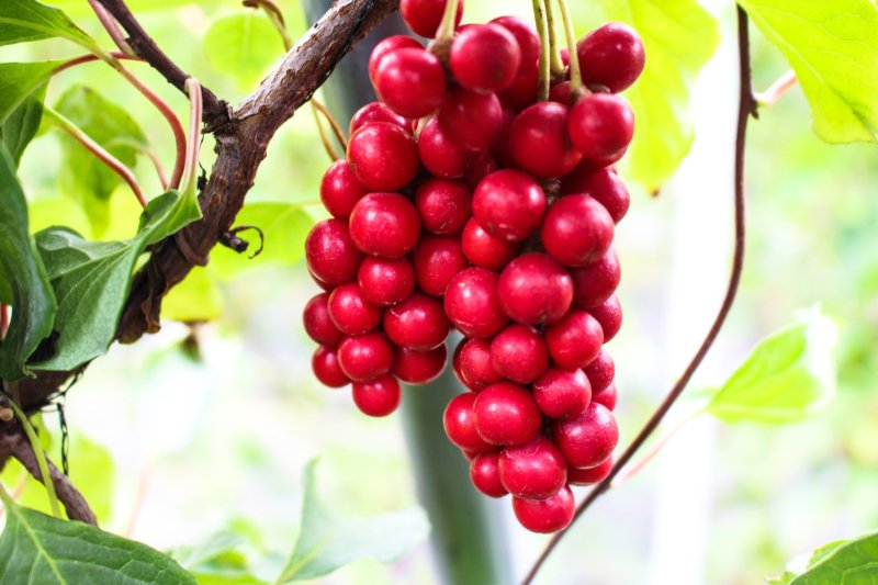 Schizandra berries - one of the best tonic herbs there is.