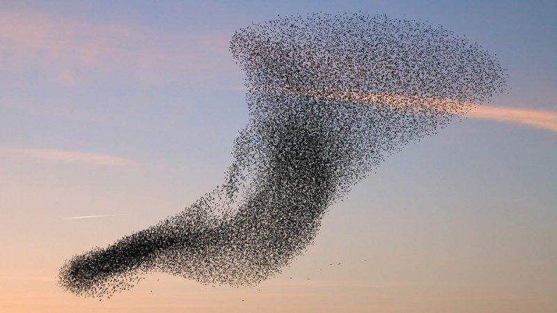 flock of birds aligning in the sky