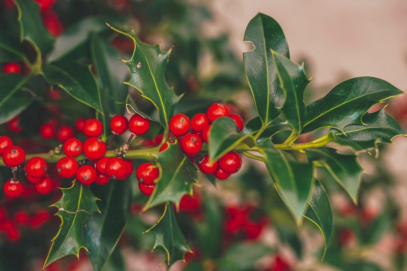 Holly berries are beautiful but poisonous - Aingeal Rose & Ahonu